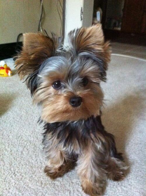 Puppy Its a Yorkie Life