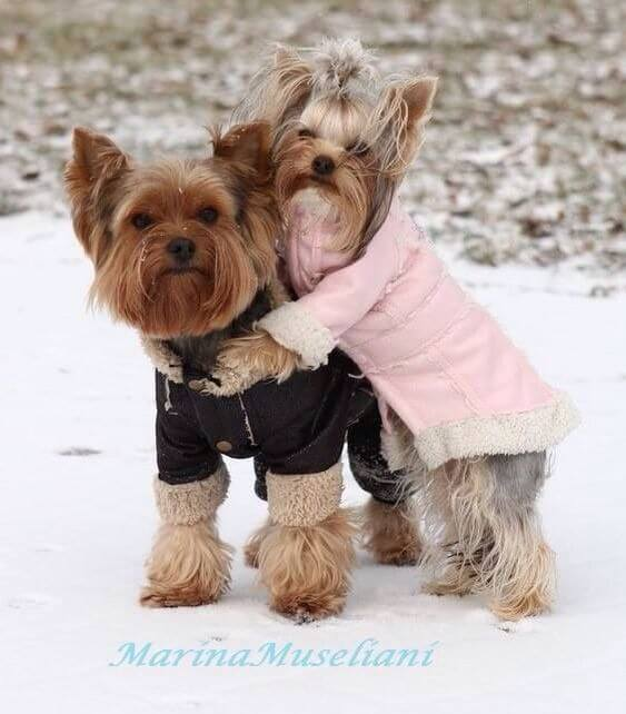 Baby Its Cold Outside Its A Yorkie Life
