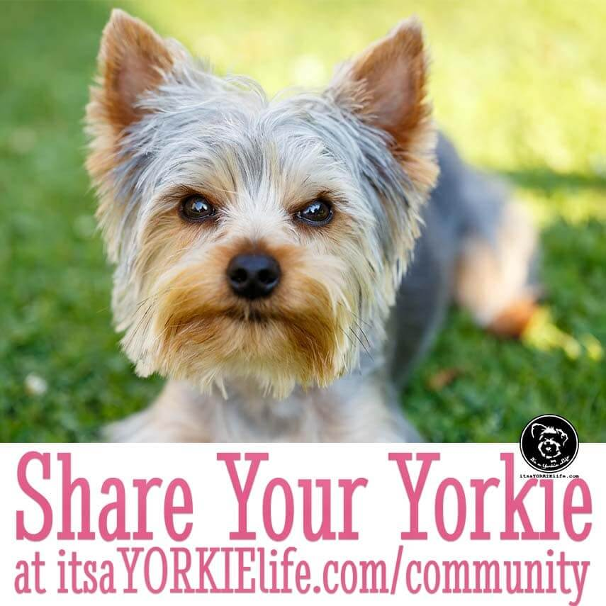 romeo-says-time-to-share-your-yorkshire-terrier
